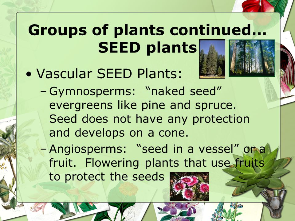 Groups of plants continued… SEED plants
