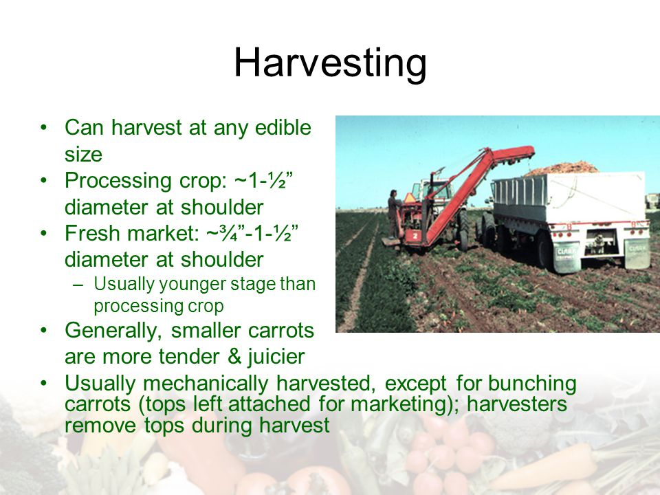 Harvesting Can harvest at any edible size Processing crop: ~1-½