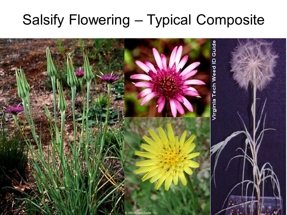 Salsify Flowering – Typical Composite