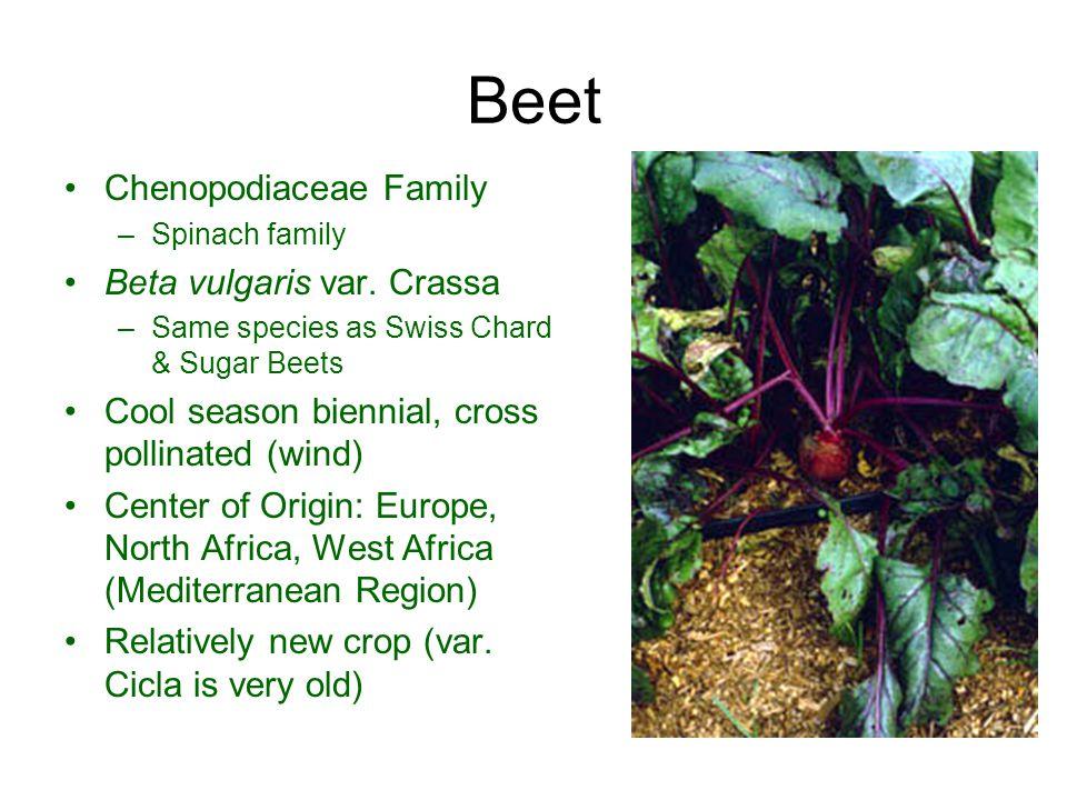 Beet Chenopodiaceae Family Beta vulgaris var. Crassa