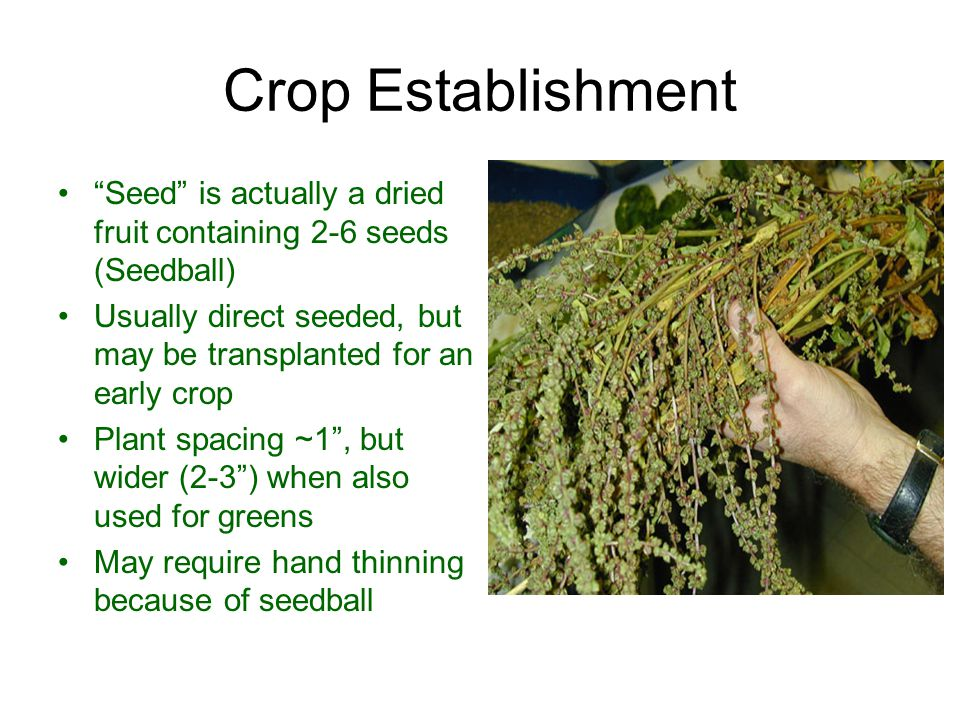 Crop Establishment Seed is actually a dried fruit containing 2-6 seeds (Seedball) Usually direct seeded, but may be transplanted for an early crop.