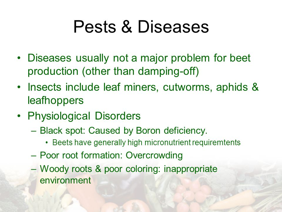 Pests & Diseases Diseases usually not a major problem for beet production (other than damping-off)