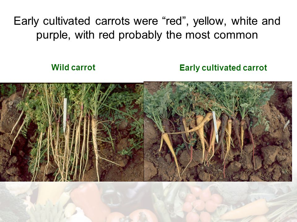 Early cultivated carrot