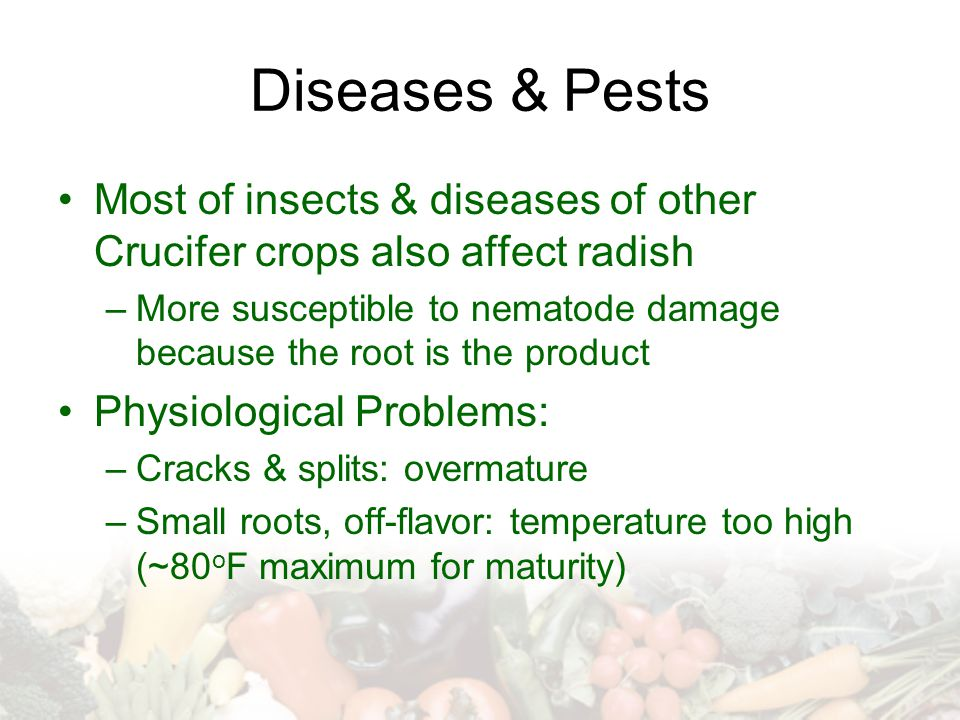 Diseases & Pests Most of insects & diseases of other Crucifer crops also affect radish.