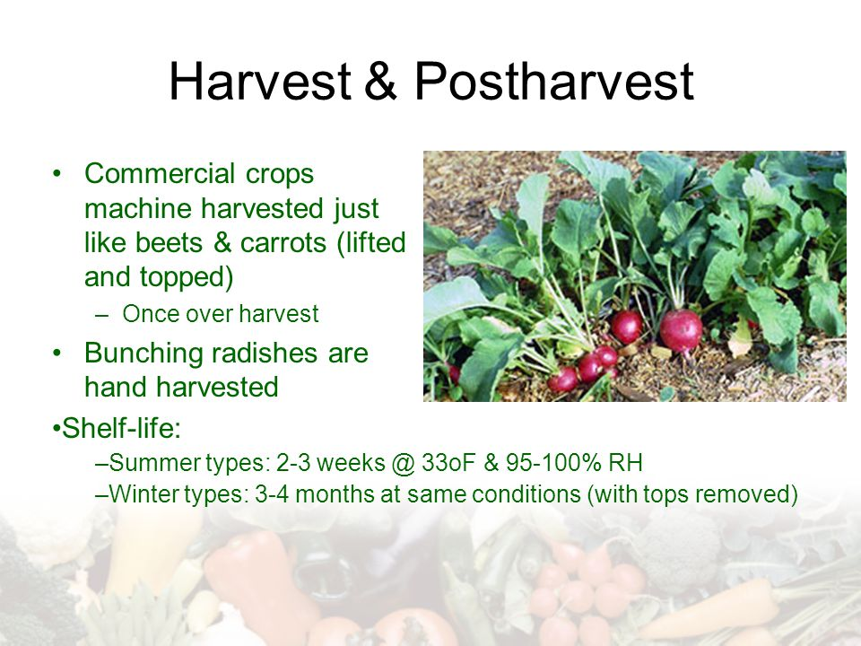 Harvest & Postharvest Commercial crops machine harvested just like beets & carrots (lifted and topped)
