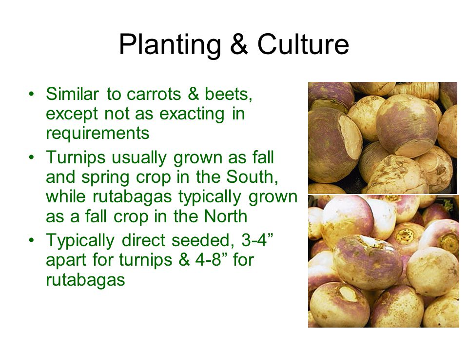 Planting & Culture Similar to carrots & beets, except not as exacting in requirements.