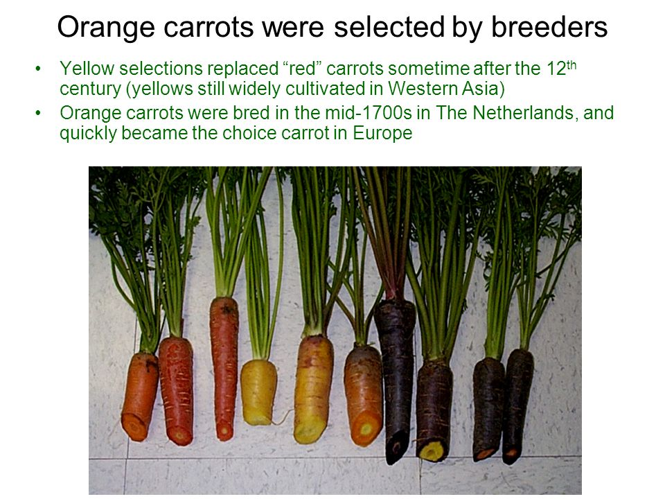 Orange carrots were selected by breeders