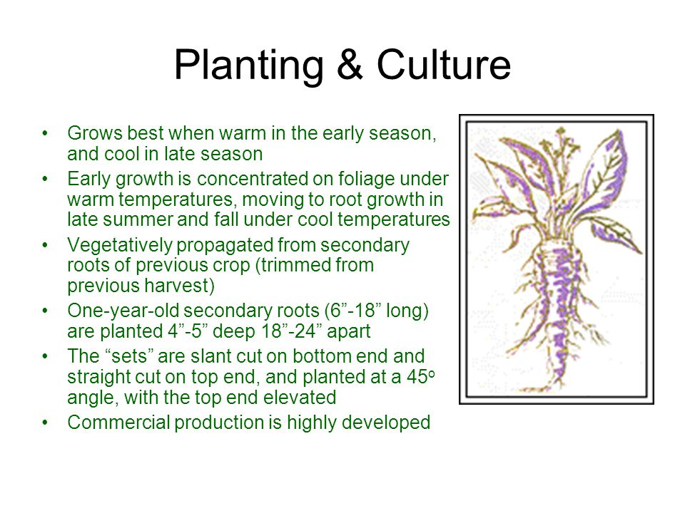 Planting & Culture Grows best when warm in the early season, and cool in late season.