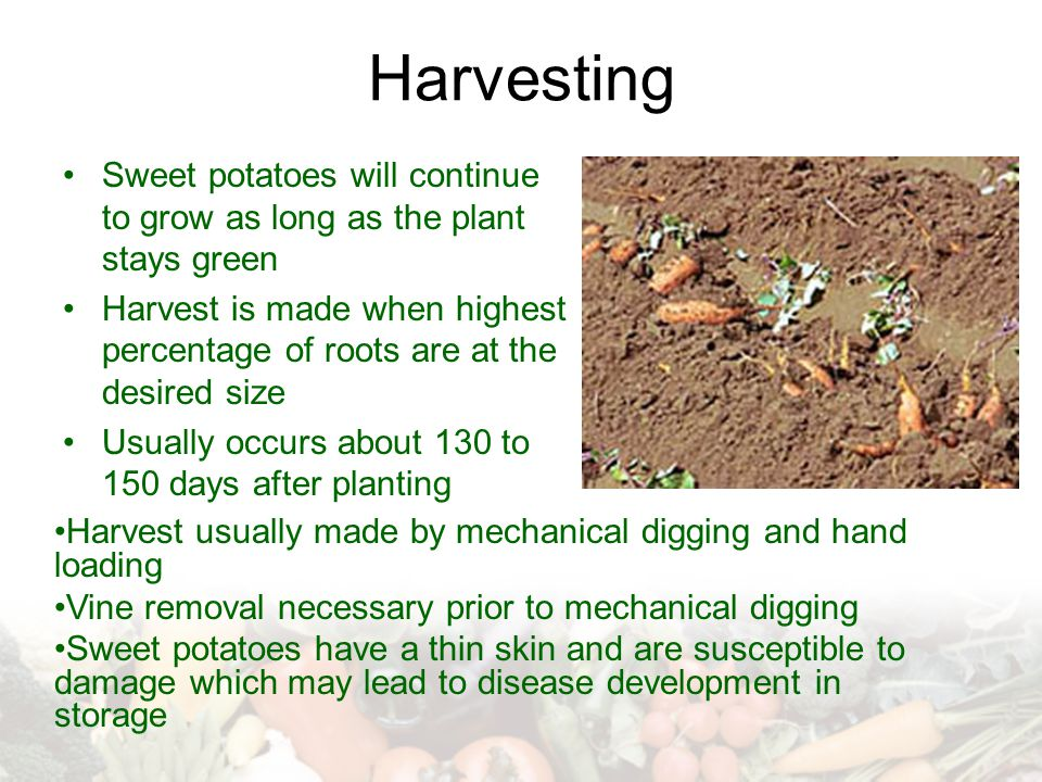 Harvesting Sweet potatoes will continue to grow as long as the plant stays green.