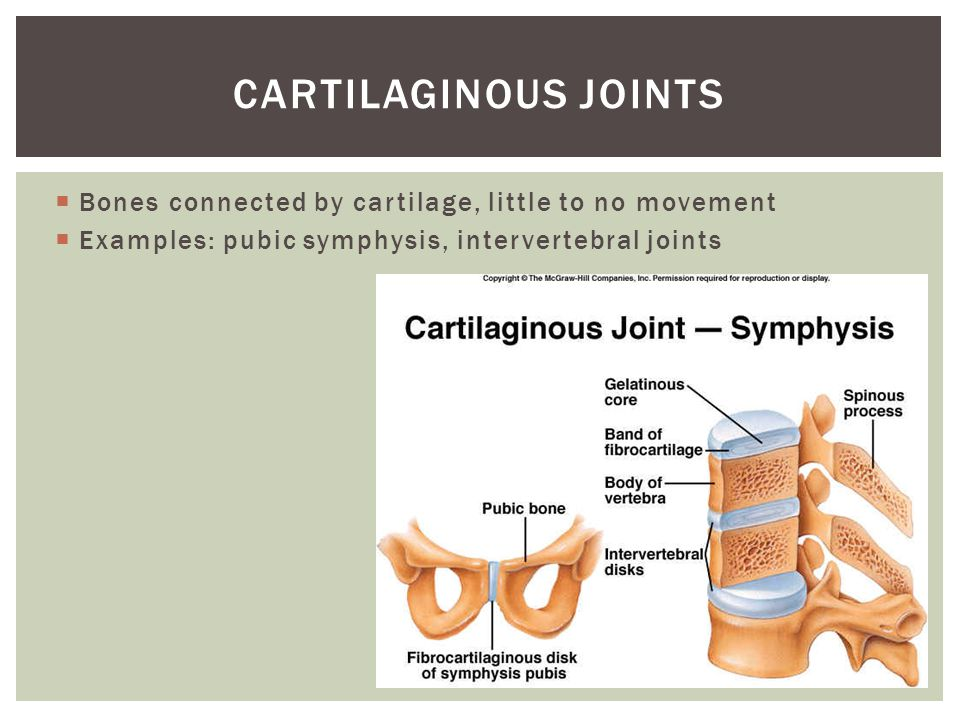 Cartilaginous joints Bones connected by cartilage, little to no movement.