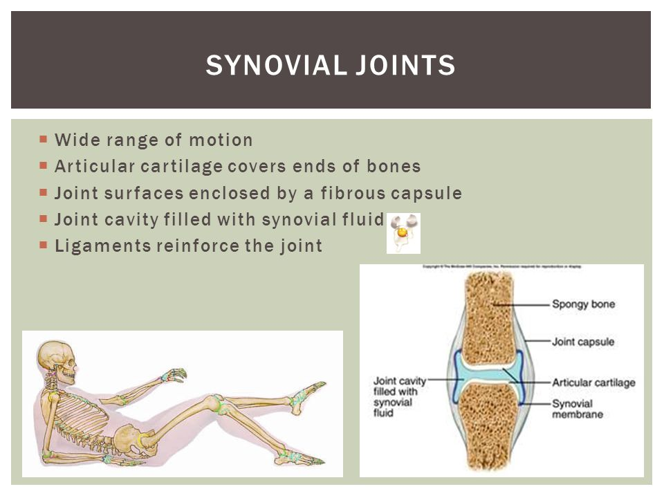 Synovial joints Wide range of motion