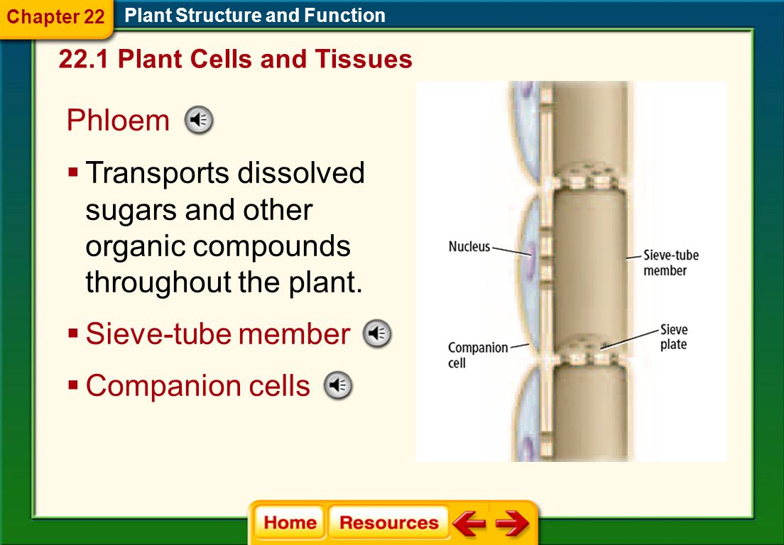 Chapter 22 Plant Structure and Function. 22.1 Plant Cells and Tissues. Phloem.