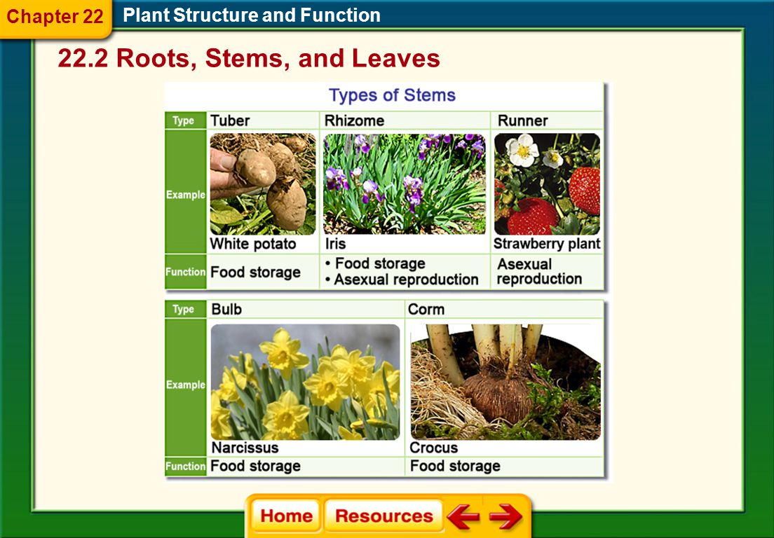Chapter 22 Plant Structure and Function 22.2 Roots, Stems, and Leaves