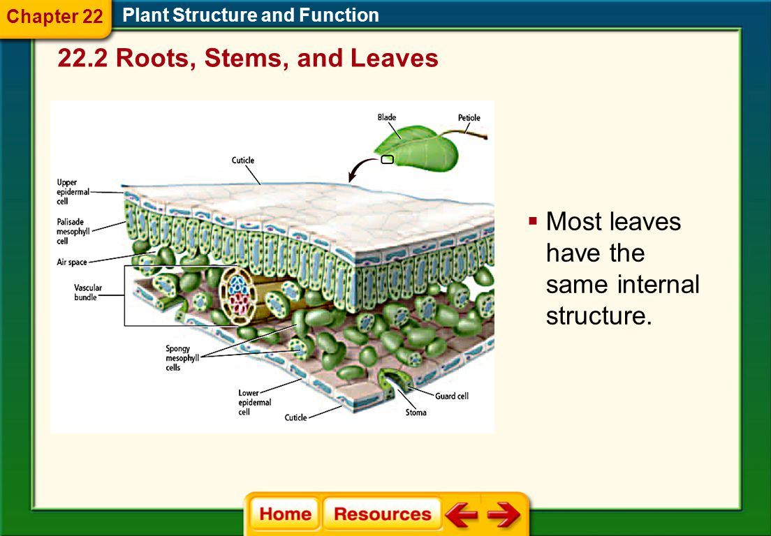 Most leaves have the same internal structure.