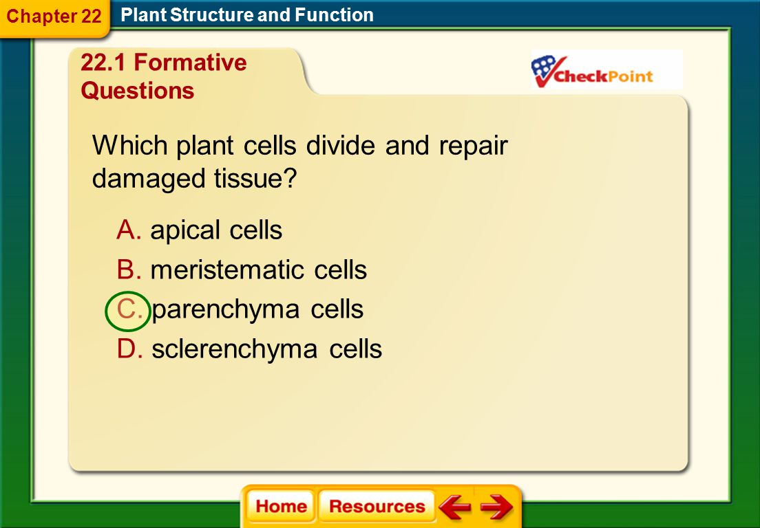 Which plant cells divide and repair damaged tissue