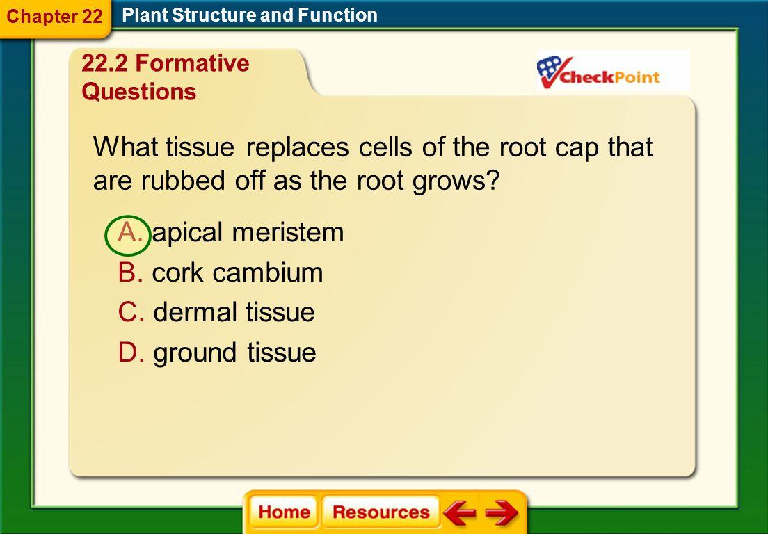 What tissue replaces cells of the root cap that