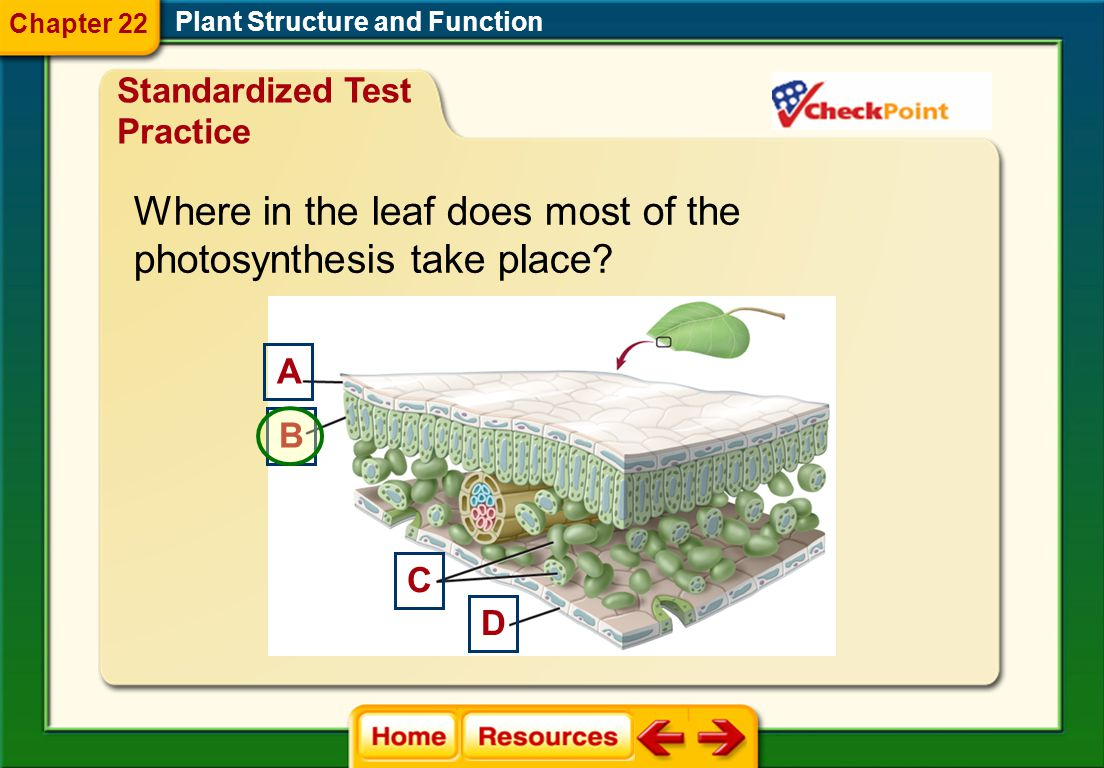 Where in the leaf does most of the photosynthesis take place