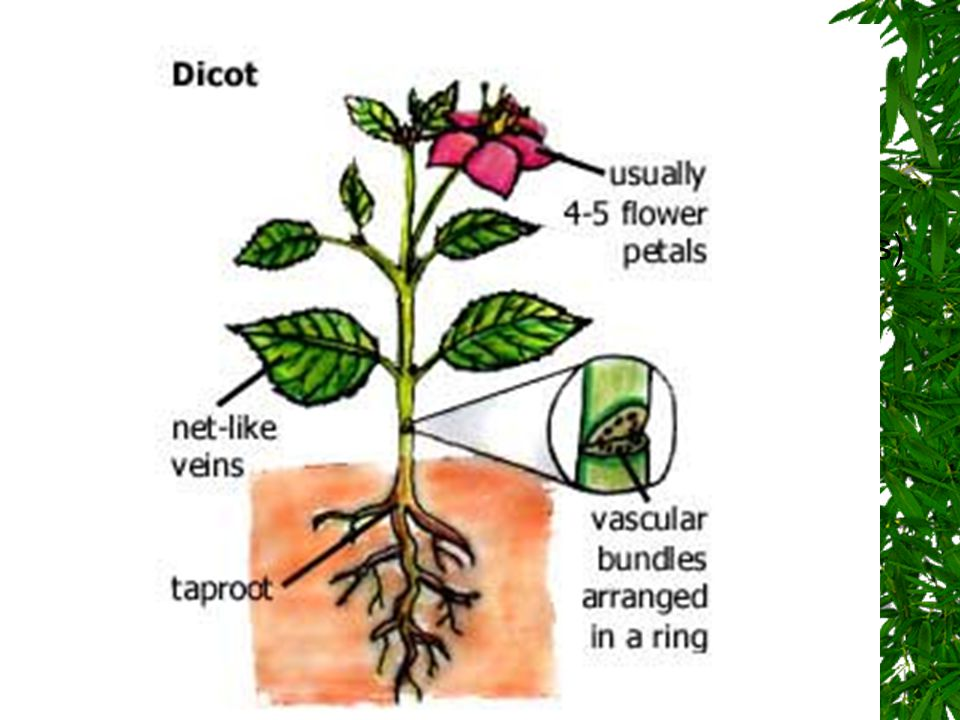 Dicot Seed Angiosperms that have 2 seed leaves (cotyledons)