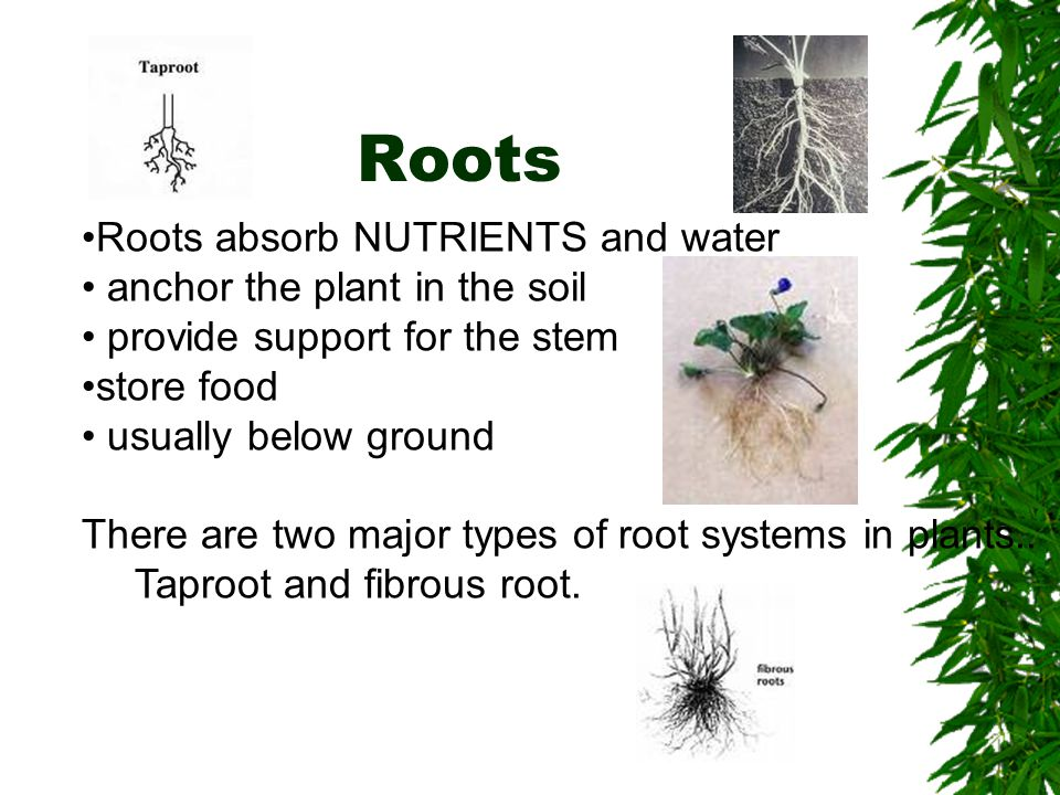 Roots Roots absorb NUTRIENTS and water anchor the plant in the soil