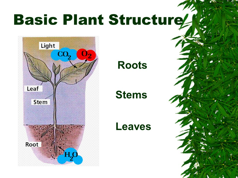 Basic Plant Structure Roots Stems Leaves
