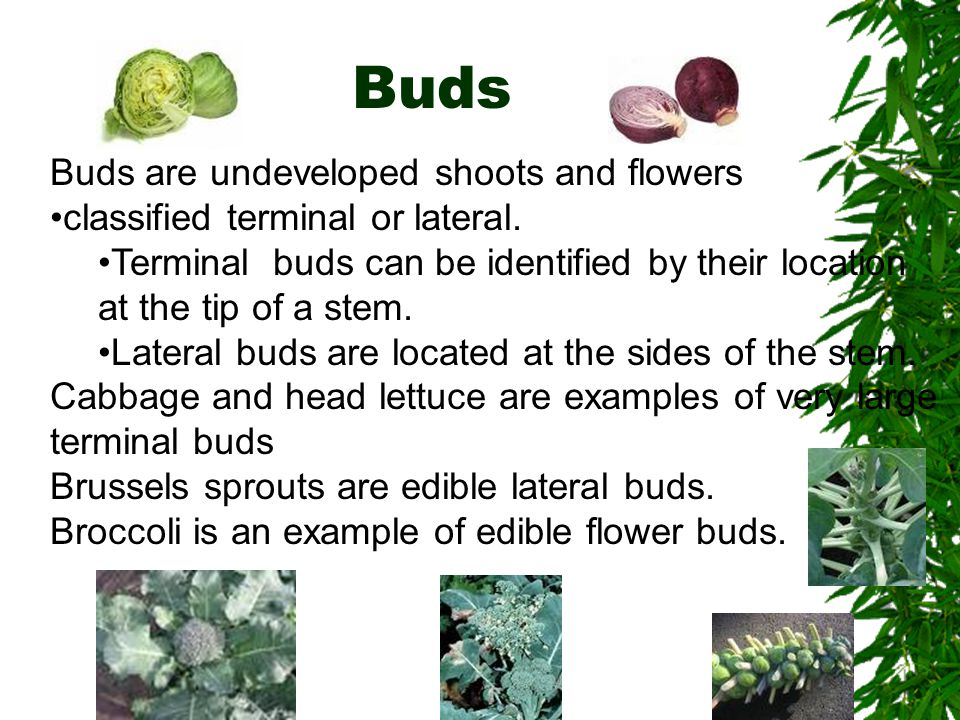 Buds Buds are undeveloped shoots and flowers