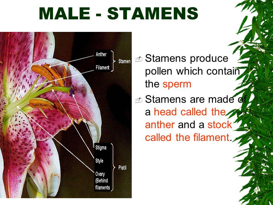 MALE - STAMENS Stamens produce pollen which contain the sperm