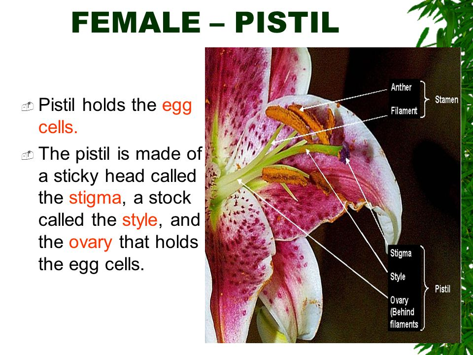 FEMALE – PISTIL Pistil holds the egg cells.