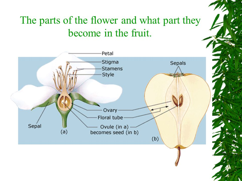 The parts of the flower and what part they become in the fruit.