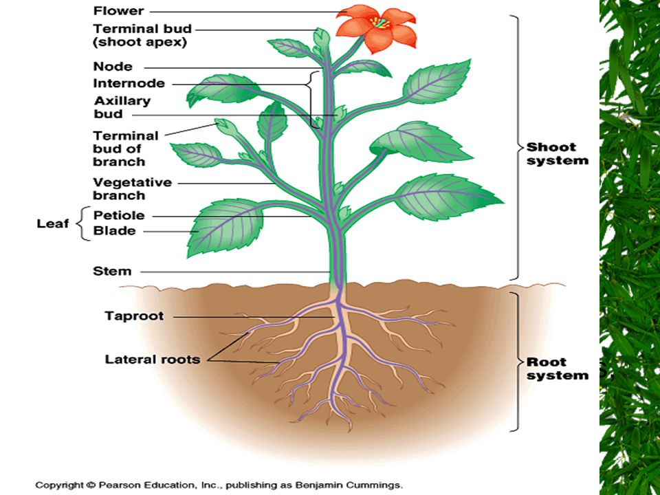 General Organization A plant has two organ systems: the shoot system