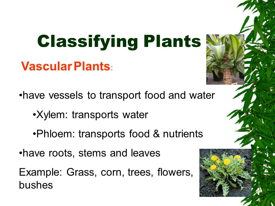 Classifying Plants Vascular Plants: