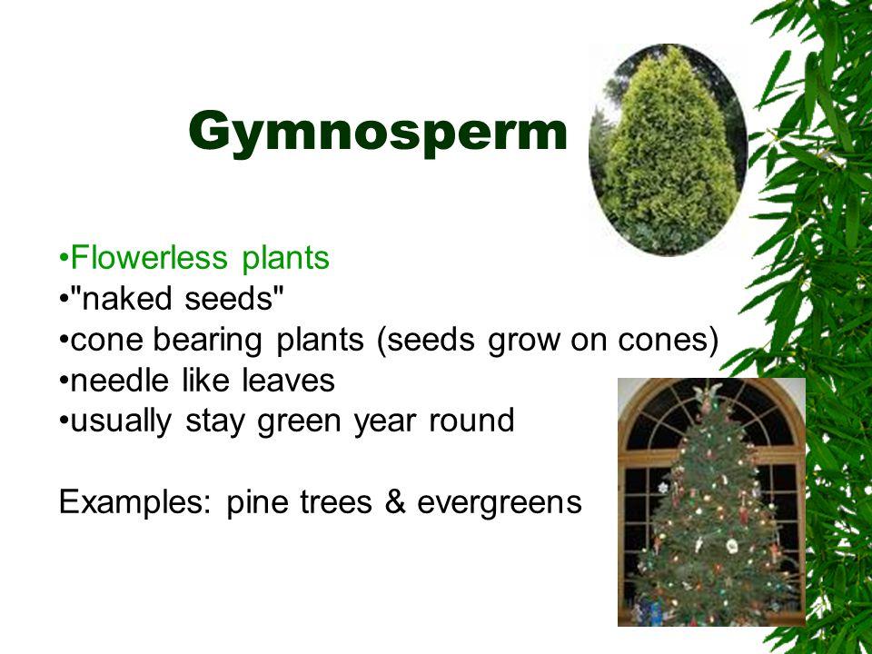 Gymnosperm Flowerless plants naked seeds