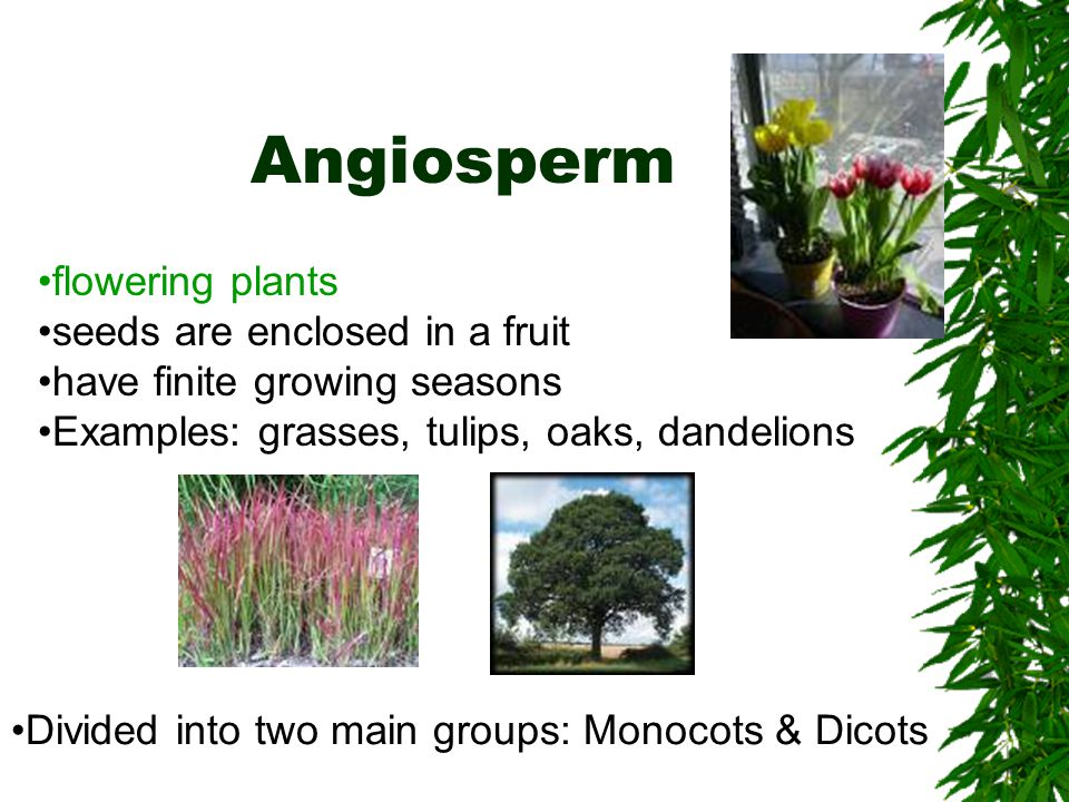 Angiosperm flowering plants seeds are enclosed in a fruit