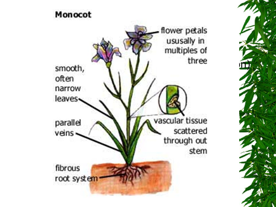 Monocot Seed Angiosperms that have 1 seed leaf (cotyledon)