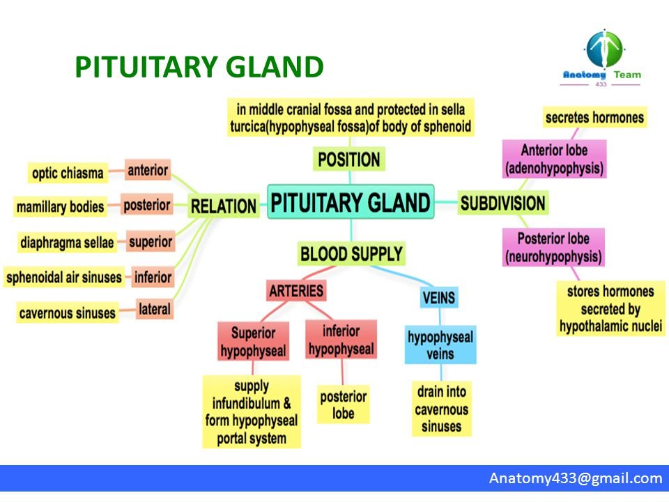 Enchanting Anatomy And Physiology Of Parathyroid Gland Illustration ...