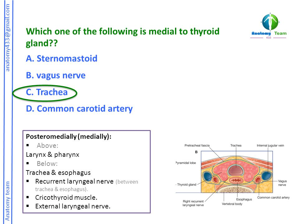 Which one of the following is medial to thyroid gland