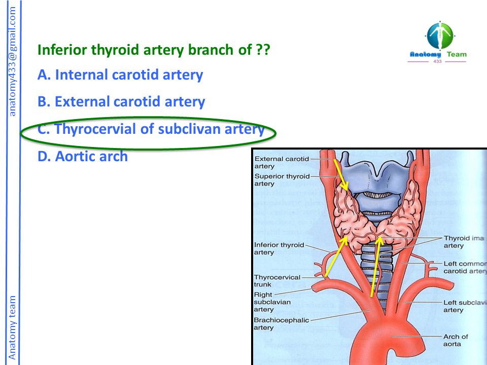 Inferior thyroid artery branch of A. Internal carotid artery