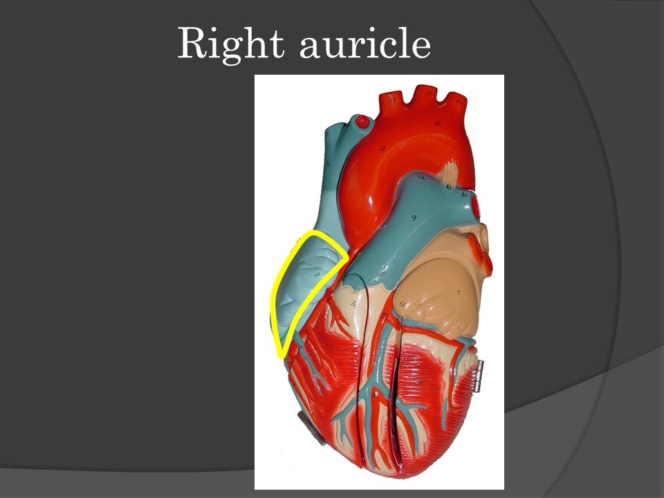 Right auricle