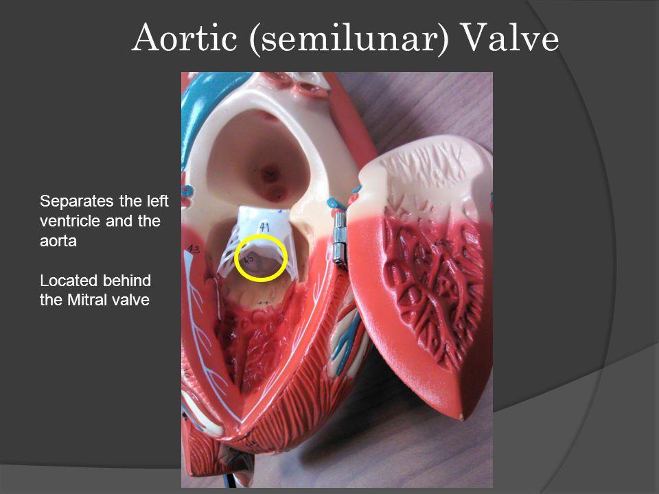 Aortic (semilunar) Valve