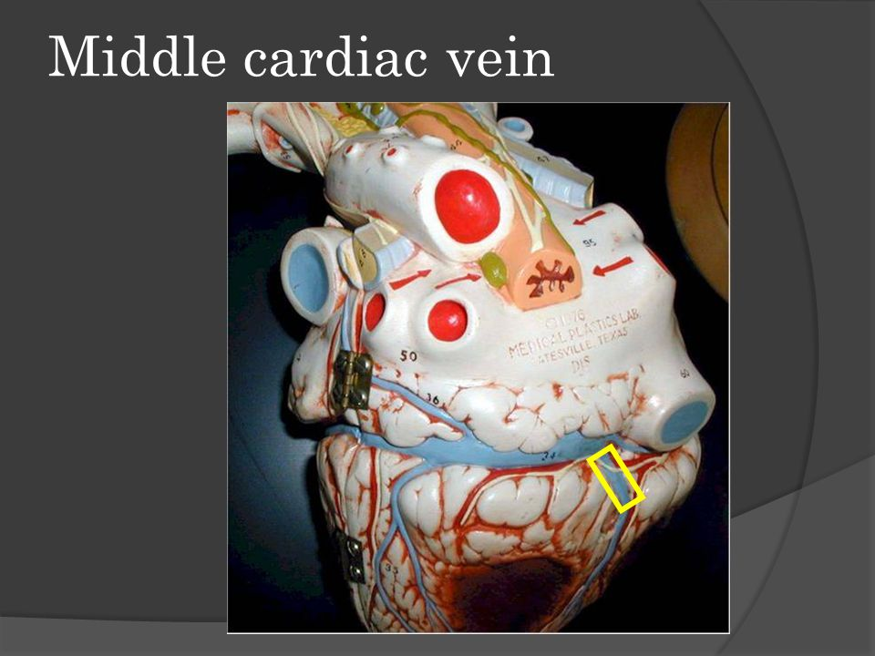 Middle cardiac vein