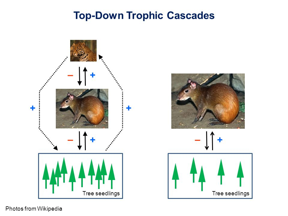Top-Down Trophic Cascades