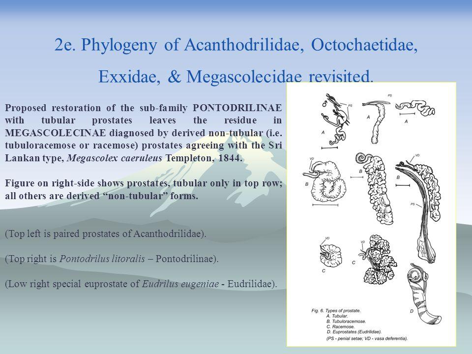 2e. Phylogeny of Acanthodrilidae, Octochaetidae, Exxidae, & Megascolecidae revisited.