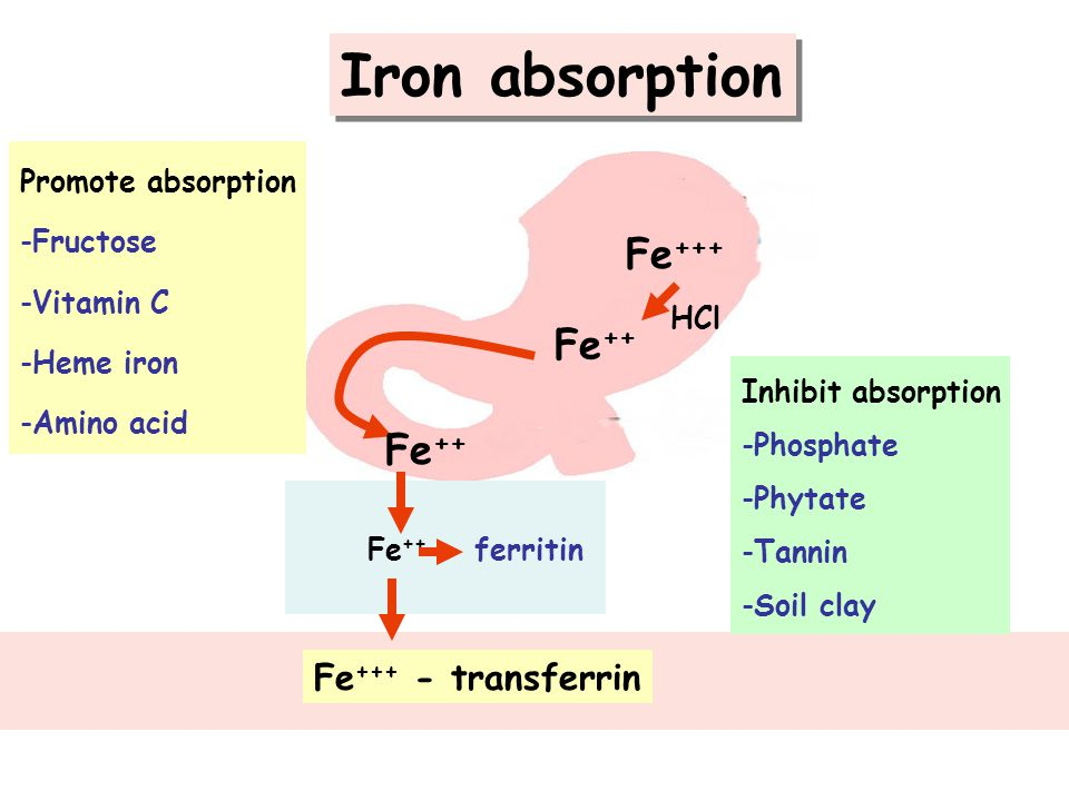Iron absorption Fe+++ Fe++ Fe++ Fe+++ - transferrin Promote absorption