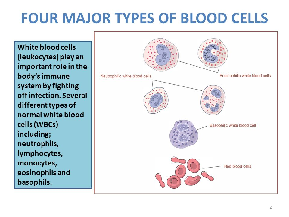 FOUR MAJOR TYPES OF BLOOD CELLS