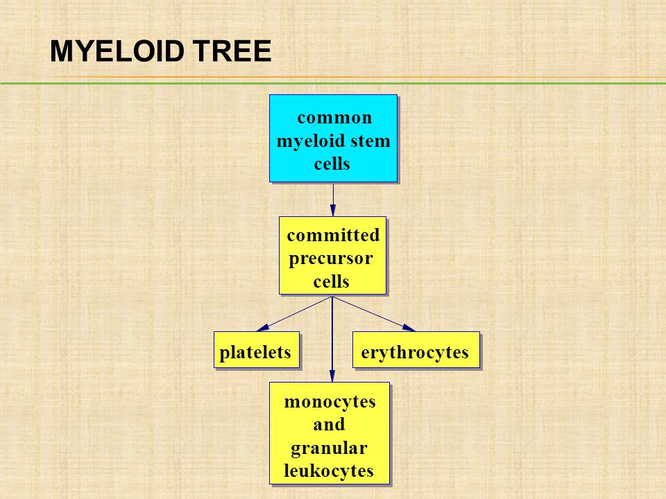 MYELOID TREE common myeloid stem cells committed precursor cells