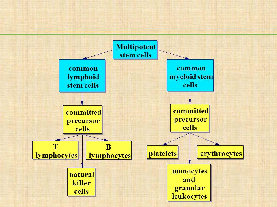 Multipotent stem cells. common. common. lymphoid. myeloid stem. stem cells. cells. committed.