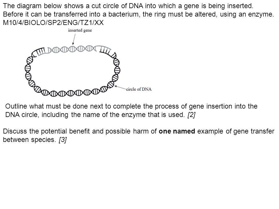 The diagram below shows a cut circle of DNA into which a gene is being inserted. Before it can be transferred into a bacterium, the ring must be altered, using an enzyme. M10/4/BIOLO/SP2/ENG/TZ1/XX