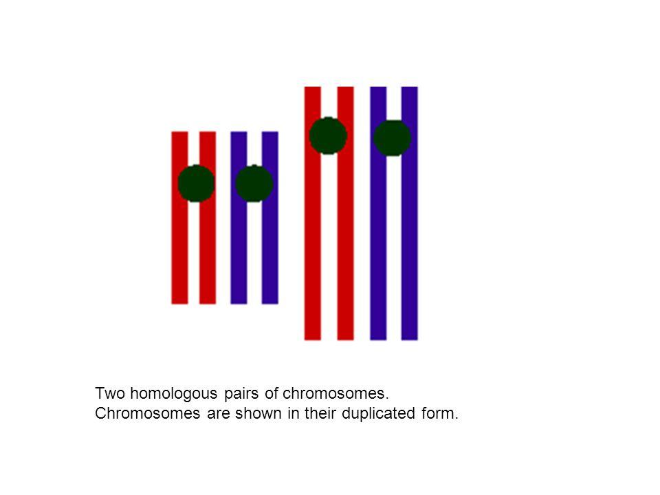 Two homologous pairs of chromosomes