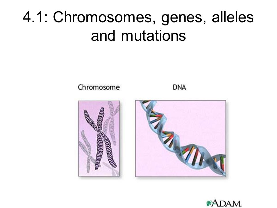 4.1: Chromosomes, genes, alleles and mutations