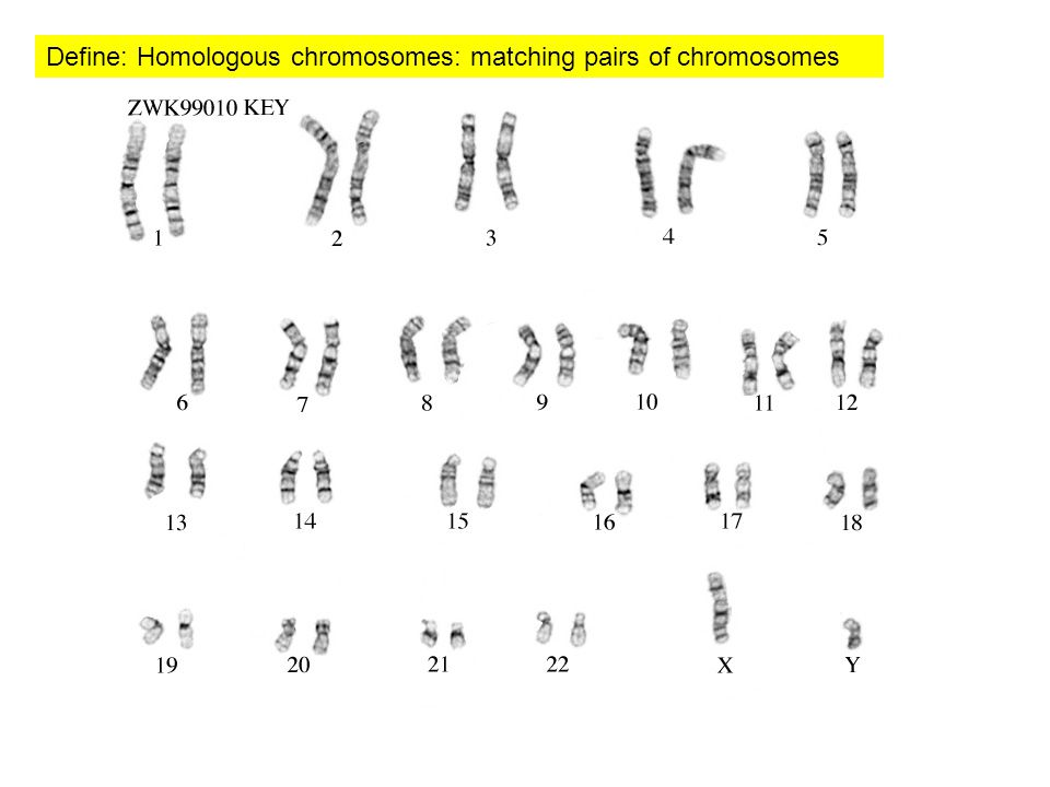 Define: Homologous chromosomes: matching pairs of chromosomes