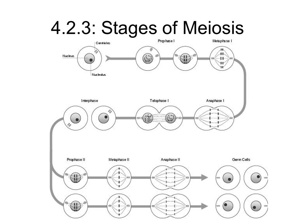 4.2.3: Stages of Meiosis